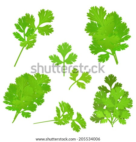bunch fresh parsley herb isolated set - stock vector