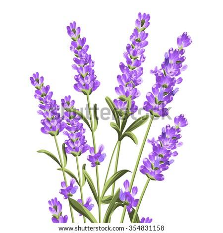 bunch lavender flowers on white background botanical stock