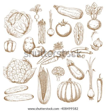 Cabbage, onion, tomato, pepper, potato, cucumber, beet, broccoli, carrot, pumpkin, corn, eggplant, pea, cauliflower, zucchini, garlic, radish, scallion and asparagus vegetables sketches - stock vector