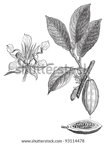 Cacao tree (Theobroma Cacao) / vintage illustration from Meyers Konversations-Lexikon 1897 - stock vector