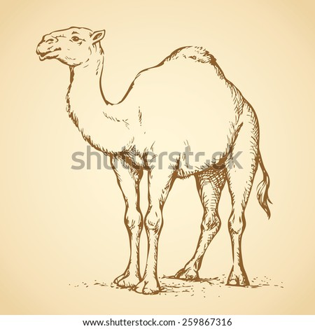 Camel is herbivorous enduring mammal with hump on its back with reserve of fat. Vector monochrome freehand ink drawn background sketchy in art scribble antiquity style pen on paper with space for text - stock vector