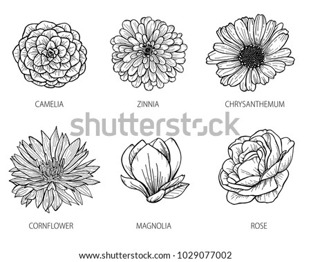 Zinnia Line Drawing : Camelia stock images royalty free vectors