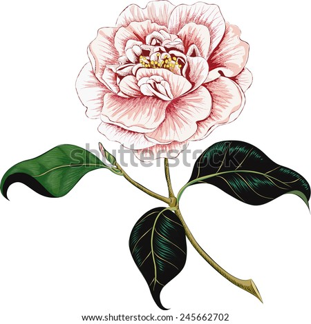 Camellia flower isolated on a white background - stock vector