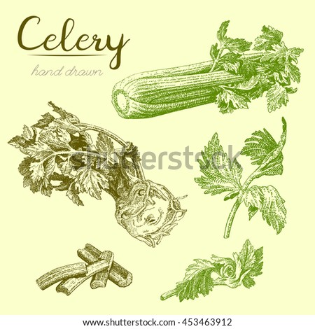 Celery-3. Set of hand drawn illustrations of celery leaves, celery stalk - stock vector