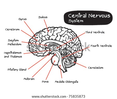 Parts Brain Affected By Autism Vector Stock VectorNervous System Diagram Labeled Brain