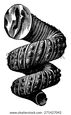 Cephalopod ammonites of the Cretaceous period, vintage engraved illustration. Earth before man 1886. - stock vector