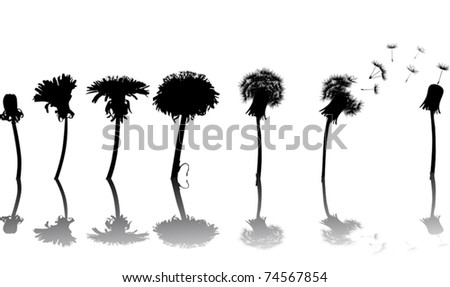 chain of the dandelion flowers from beginning to senility isolated on white background - stock vector