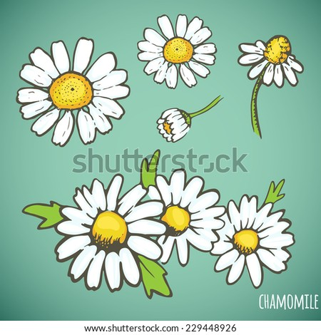 Chamomile. Vector hand drawn illustration. Healing herb. - stock vector