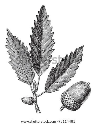 Chestnut oak (Quercus Prinus) / vintage illustration from Meyers Konversations-Lexikon 1897 - stock vector