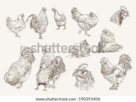 chicken breeding. collection of vector designs on a white background - stock vector