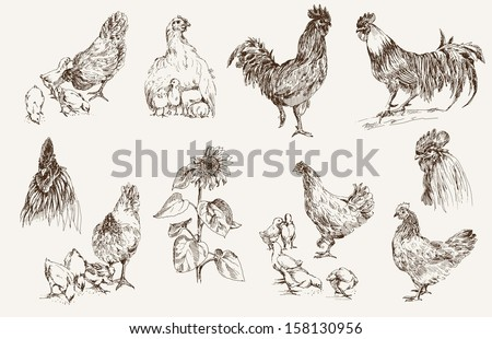 chicken breeding. set of vector sketches - stock vector