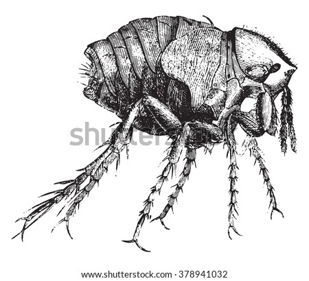 Chiggers female, magnified 50 times, vintage engraved illustration. Magasin Pittoresque 1873. - stock vector