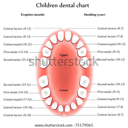 Children Teeth anatomy. Shows eruption and shedding time. Dental titles. - stock vector