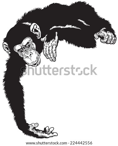 chimpanzee ape, black and white image
