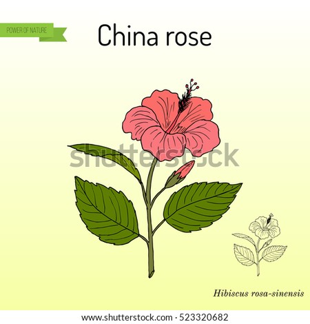 Hibiscus rosa stock images royalty free images vectors shutterstock china rose hibiscus rosa sinensis or shoeblackplant flowering plant hand ccuart Image collections