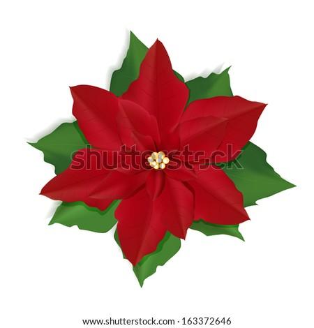 Christmas red flower Poinsettia  - stock vector