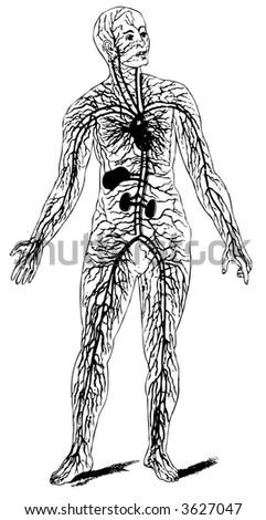 Circulatory System - stock vector
