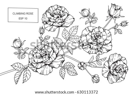 Climbing rose flowers drawing and sketch with line art on white backgrounds