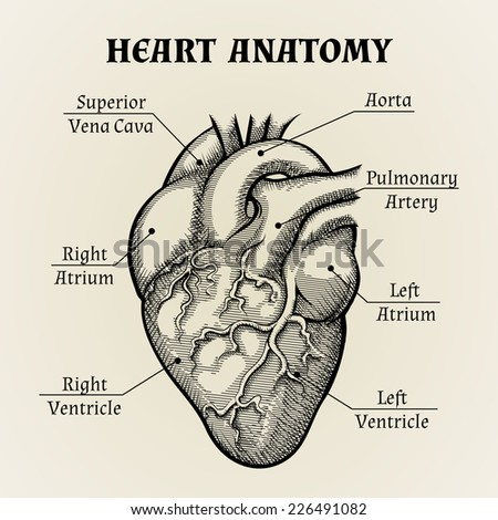 Close up Black and White Heart Anatomy with Labels Graphic Design. - stock vector