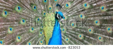 Closeup of peacock. Vector based and isolated - stock vector