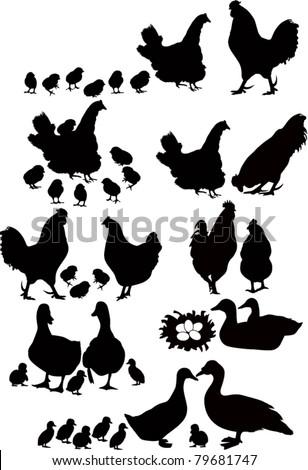 Cock a hen a chicken of a bird it is isolated a vector a farm Duck ducklings a nest a family  - stock vector