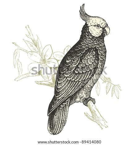 Cockatoo Line Drawing Cockatoo Vintage Engraved