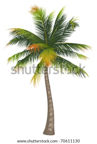 Coconut palm tree on a white background - stock vector