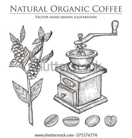 Coffee branch. Coffee plant with leaf. Coffee berry. Coffee bean. Coffee fruit. Coffee seed. Coffee mill. Natural organic caffeine drink coffee. Hand drawn vector illustration on white background. - stock vector