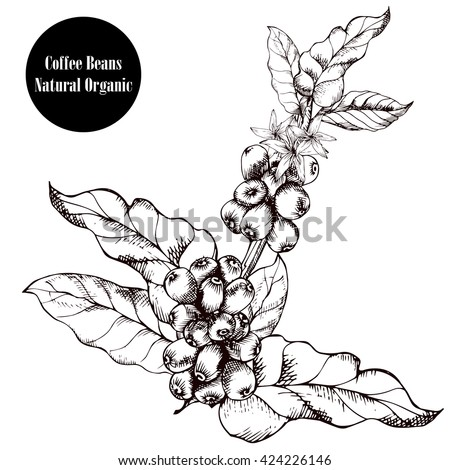 Coffee branch.Natural organic caffeine. Coffee plant with coffee leaf,berry,bean,coffee fruit, seed.Hand drawn coffee collection vector illustration. - stock vector