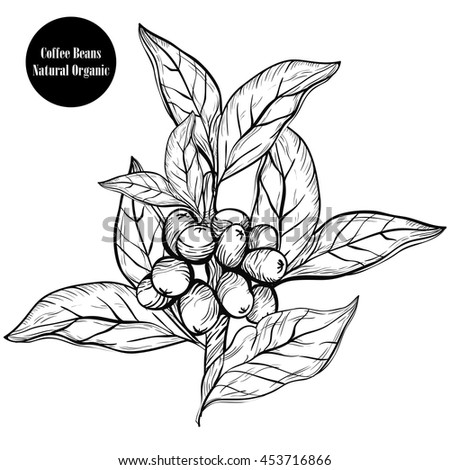 Coffee branch.Natural organic caffeine. Plant with coffee leaf,berry,bean,fruit, seed. Hand drawn vintage coffee collection vector illustration.