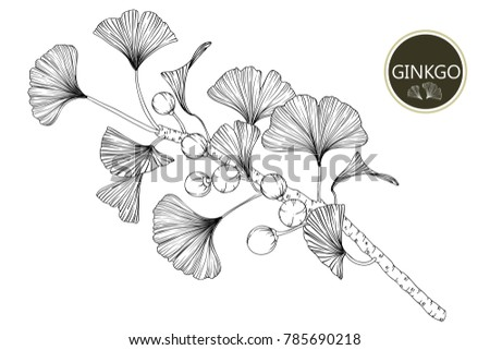 Line Drawing Flower Vector : Collection ginkgo biloba branches lineart on stock photo