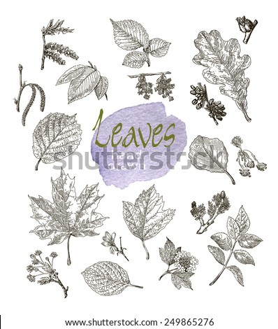 Collection of highly detailed hand drawn leaves and inflorescence isolated on white background. Watercolor blot. Botany  background. - stock vector