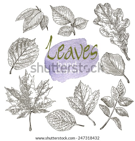 Collection of highly detailed hand drawn leaves isolated on white background. Watercolor blot. Botany  background. - stock vector
