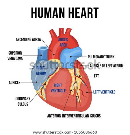 Colorful anatomy human heart descriptions parts stock vector colorful anatomy of human heart with descriptions of its parts vector illustration ccuart Image collections