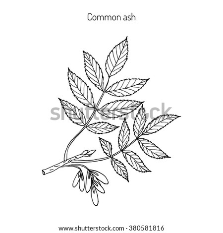 Ash Tree Silhouette Sketch Coloring Page