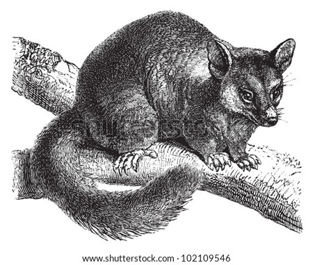 Common brushtail possum (Trichosurus vulpecula) / vintage illustration from Brockhaus Konversations-Lexikon 1908 - stock vector