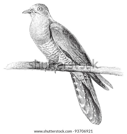 Cuckoo Bird Stock Images Royalty-Free Images U0026 Vectors | Shutterstock