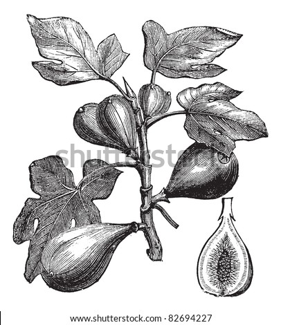 Common Fig or Ficus carica, vintage engraving. Old engraved illustration of Common Fig showing fruits. Trousset encyclopedia (1886 - 1891). - stock vector
