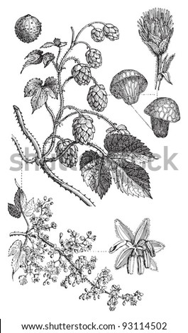 Common hop (Humulus Lupulus) / vintage illustration from Meyers Konversations-Lexikon 1897