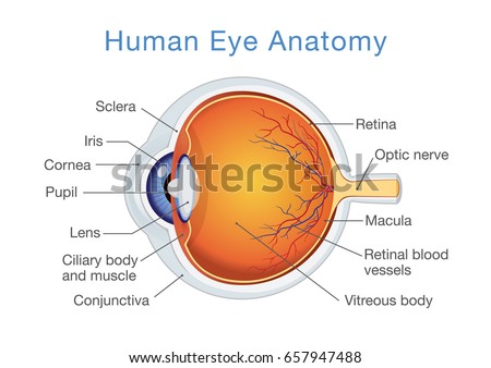 Components Human Eye Illustration About Anatomy Vector de ...