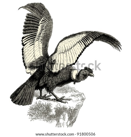 """Condor - - vintage engraved illustration - """"Histoire naturelle"""" by Buffon and Lacepe  ed. Alfred Mame - Tours 1881 - stock vector"""