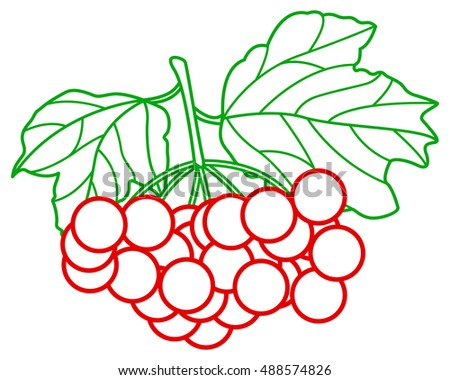 Contour illustration of the arrowwood fruits and leaves