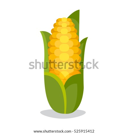 Corn cobs vector illustration. Healthy grain maize vegetable cob . Yellow agriculture farm ingredient .
