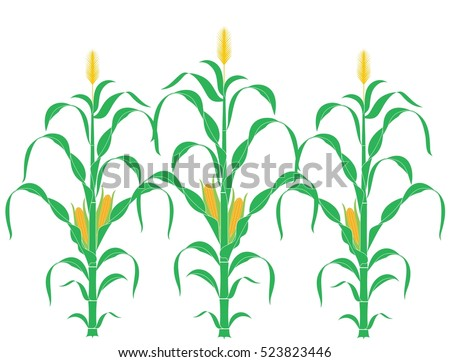 Corn. Plant. Abstract corn stalks on white background