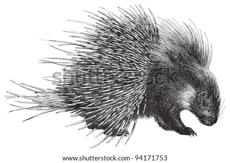 Crested Porcupine (Hystrix cristata) / vintage illustration from Meyers Konversations-Lexikon 1897