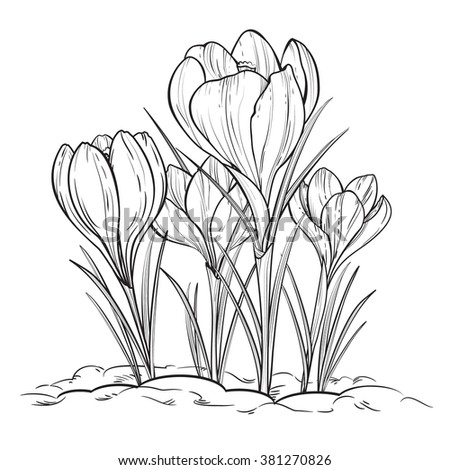 crocus clip art black and white � cliparts