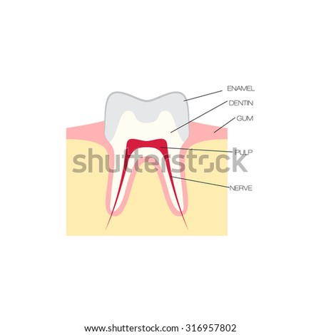 cross section of a tooth, dental scheme vector illustration - stock vector