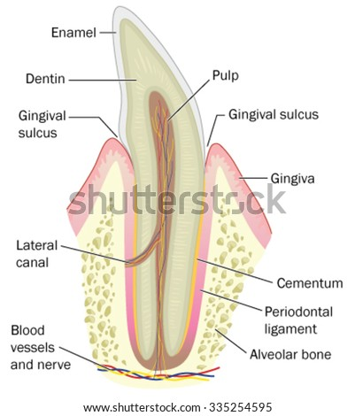 skull bones diagram cross section tooth showing bone gum stock vector teeth bones diagram #14