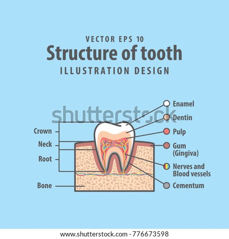 Crosssection structure inside tooth diagram chart stock vector cross section structure inside tooth diagram and chart illustration vector on blue background dental ccuart Choice Image