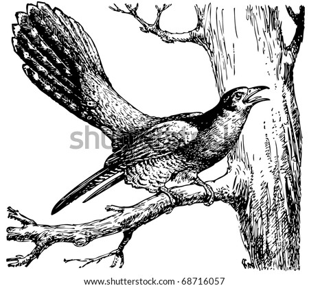 Cuckoo Bird Stock Images Royalty Free Images Amp Vectors